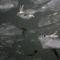 Sirályok a Dunán
