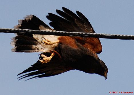 Ragadozó madarak 11