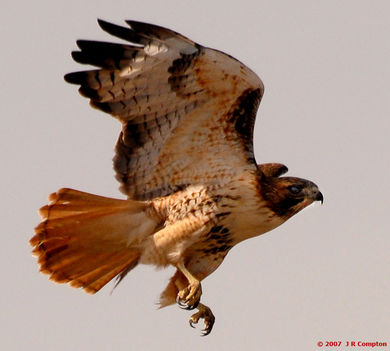 Ragadozó madarak 14
