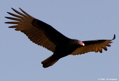 Ragadozó madarak 16