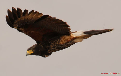Ragadozó madarak 18