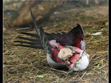Ragadozó madarak 1