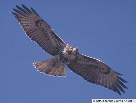 Ragadozó madarak 20