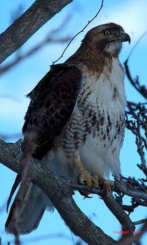 Ragadozó madarak 21