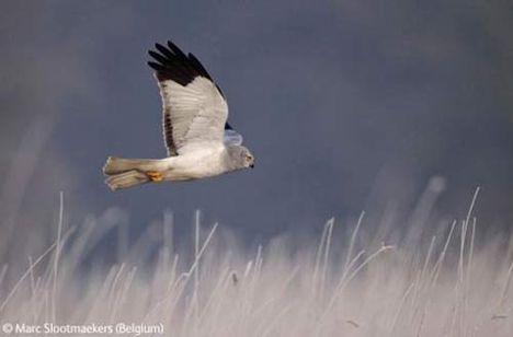 Ragadozó madarak 3