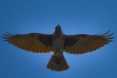 Ragadozó madarak 5