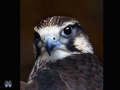 Ragadozó madarak 7