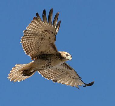 Ragadozó madarak 8
