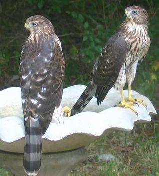 Ragadozó madarak 9