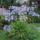 Agapanthus szerelemmvirág