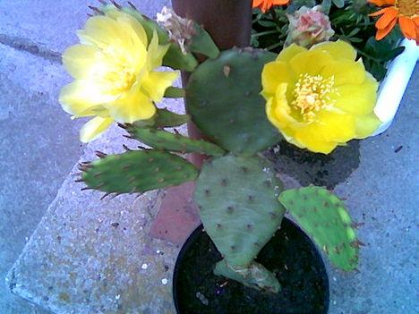 füge kaktusz virága