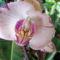 Aphrodite Orchidea