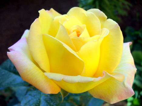 Kedvenc rózsáim egyike
