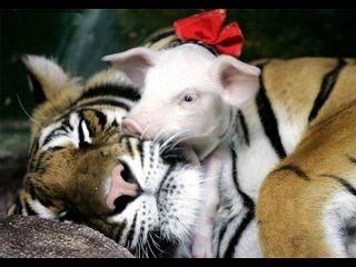 A tigris esete a kismalacokkal 4
