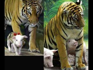 A tigris esete a kismalacokkal 5