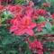 Kám - rododendron