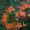 rodorendron