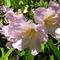 rózsaszin rododendron