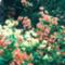 virágzó rododendron