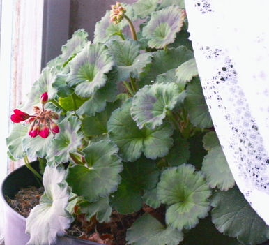 Muskátli - Pelargonium x hortorum