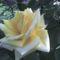 Rózsa 4