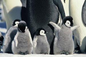 cute-baby-penguin