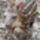 Delamerikai_tapirkolyok_56220_115821_t