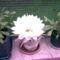 gömbkaktusz virága
