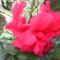 Hibiskusz virága