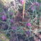 kockás liliom