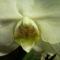 közelről phalaenopsis