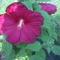 mocsári hibiskusz