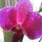 phalaenopsis  közelről