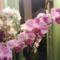 phalaenopsisok