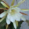 kaktuszom virága