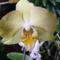 Lepke Orchidea krém szinü árnyalattal
