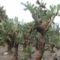 Kaktuszerdő Balcsikon