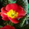 Kankalin - Primula vulgaris