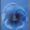 kék árvácska