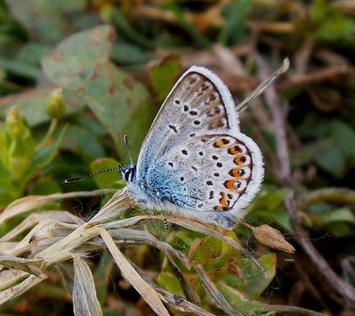 Égszinkék Boglárka - Polyommatus bellargus