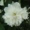 jezsámen virága közelről