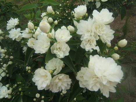 jezsámen virágok