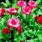 Virágaim 039
