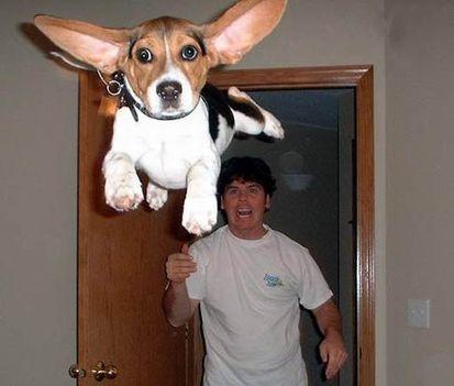 Repülő beagle kutya