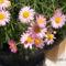 Cserjés margaréta - Argyranthemum pink