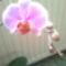 Csikosom másod virágzásában