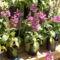 Gyűszűvirág - Digitalis purpurea