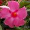 Hibiszkusz-Hibiscus rosa sinensis