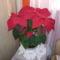 Mikulás virág