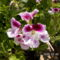 Muskátli - Pelargonium